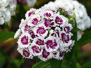 Sweet Williams Dianthus Barbatus Dianthus Barbatus Sweet William Is A Species Of Dianthus Native To Sweet William Dianthus Barbatus Sweet William Flowers