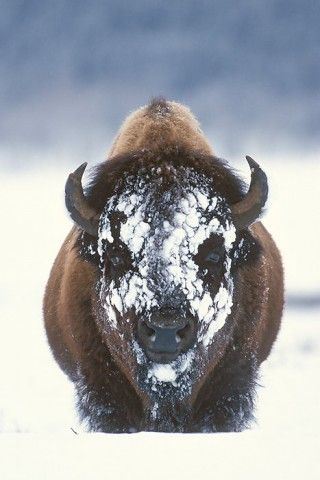 To hairy How buffalo make