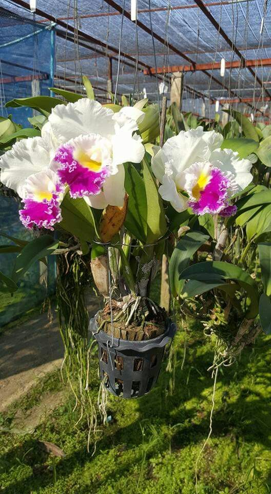 Pin By Flowers In Heart On Cattleya Orchids Orchid Plants Cattleya Orchid Beautiful Flowers