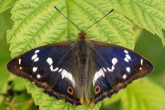 purple blue butterflies - Butterfly is my spirit animal
