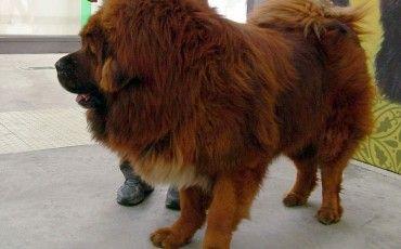 """CINA, I MASTINI TIBETANI """"SVENDUTI"""" AI MACELLI DI PECHINO PER 4 EURO » Fbsocialpet.com: il social forum per cani, gatti, cavalli, tutti gli animali"""