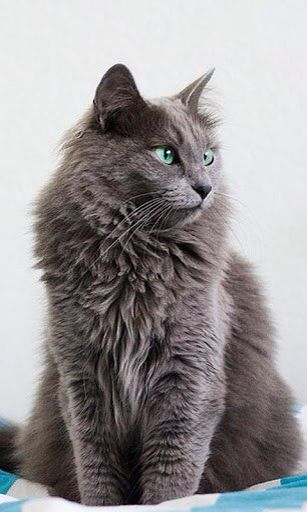 Nebelung cat-  this is the kind of breed my cat is.  So beautiful.