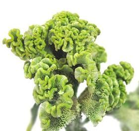 Mayesh Wholesale Florists - Bright Chartreuse Coxcomb