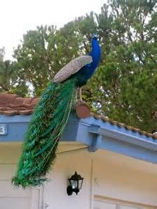 peacock bird - Yahoo Image Search results