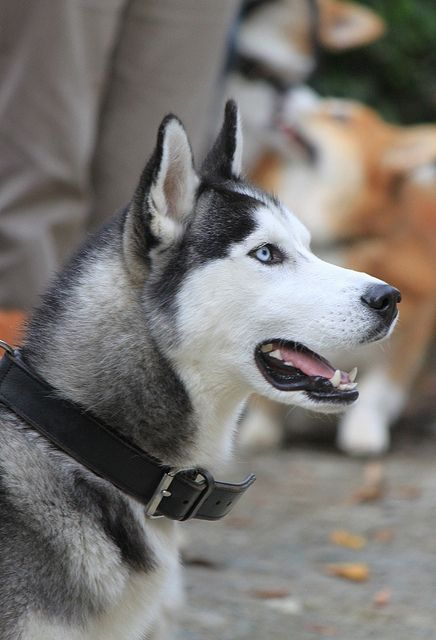 """Siberian Husky-exhibit high energy indoors, have special exercise needs, may pursue cats, and may be destructive """"without proper care. They need the frequent companionship of people and other dogs.Behavioral issues include a tendency to roam and to make escape attempts.He can't help it, it's the way he's made."""
