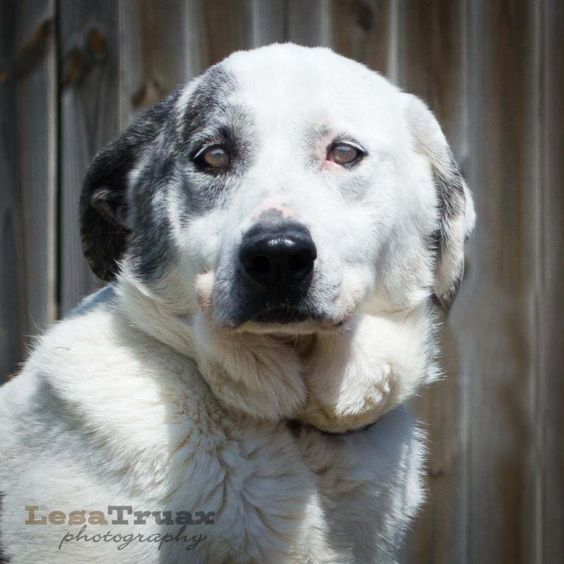 085/02/14 sl ~Piper Great Pyrenees & Labrador Retriever Mix • Adult • Female • Large Hope for Paws Lavon, TX