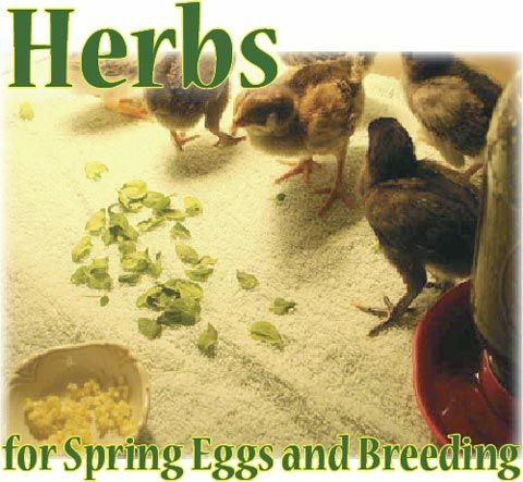 Herbs for Breeding & Health of Chickens