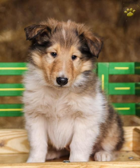 Bruce Collie Puppy For Sale In Elysburg Pa Lancaster Puppies
