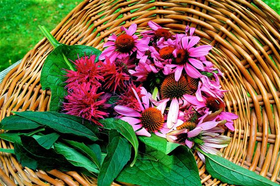 Moment to Moment: Making Echinacea syrup