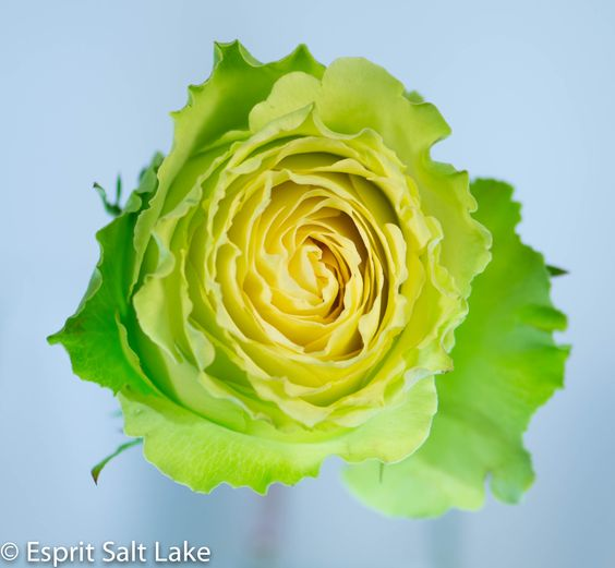 lovely green rose green flowers pinterest green. Black Bedroom Furniture Sets. Home Design Ideas
