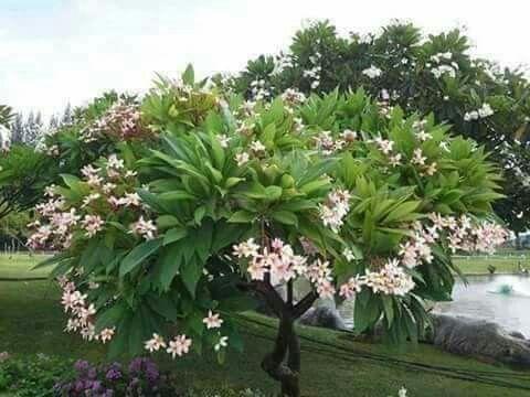 شجرة الياسمين الهندي Plants Tree Decor