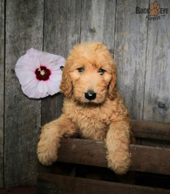 Delightfulgoldendoodle Goldendoodle Charming Puppiesofpinterest Pinterestpuppies Buckeyepuppi Goldendoodle Puppy For Sale Goldendoodle Puppy Goldendoodle