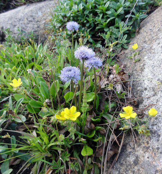 Die Nacktstengelige Kugelblume (Globularia nudicaulis) ist ebenfalls ein ganz entzückender Kombinationspartner für alpine Polstermatten.