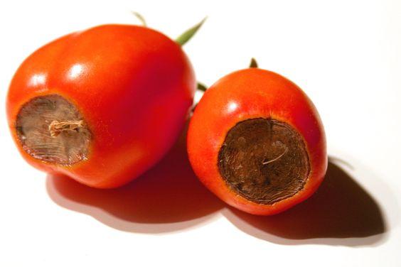 Deficiencia de calcio en tomate