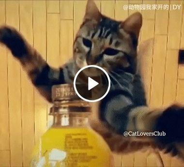 Gatinho abre a garrafa em um  salto
