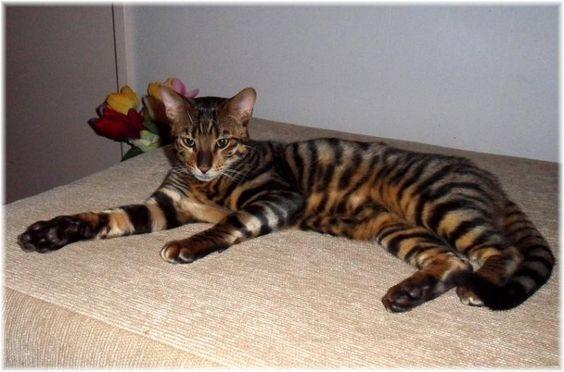 Toyger cat cat breeders and kitten for sale on pinterest