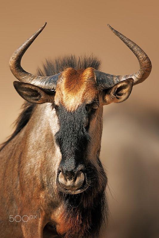 Blue wildebeest (Connochaetes taurinus portrait close-up in Kgalagadi Transfrontier Park (South Africa)