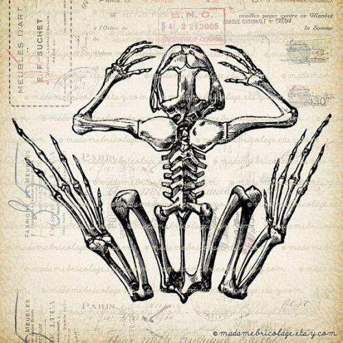 Frog skeleton anatomy