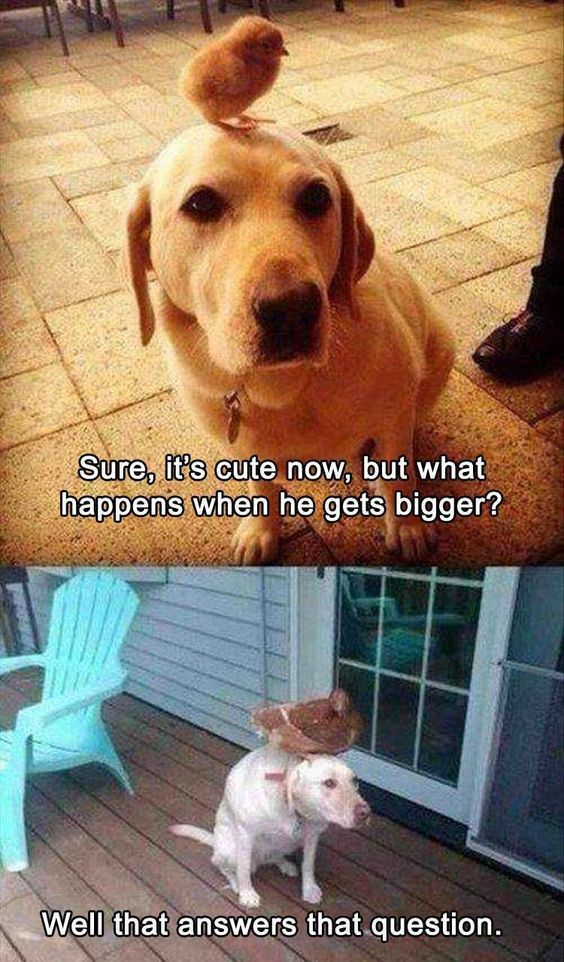 Chicken On Dogs Head Funny Dogs Memes Animal Jokes Funny