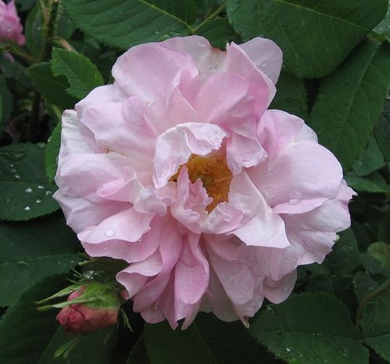 Alba Rose: Rosa 'Amélia' (France, 1823)