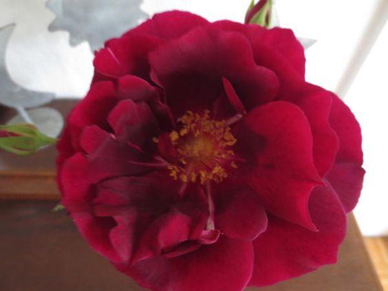 Historische Rosen 2015 - Seite 179 - Rund um die Rose - Mein schöner Garten online