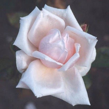 Pharisaer (Bush Rose)