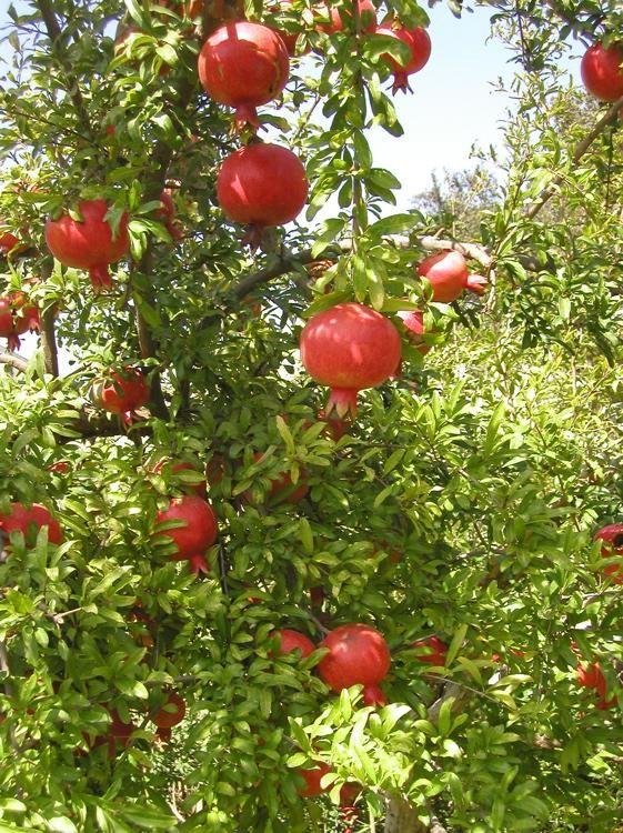 Pomegranate Light: Full Sun/Part Shade Height: 8′ – 12′ Spacing/Spread: 6′ – 10′