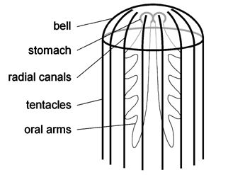 jellyfish anatomy - Google Search