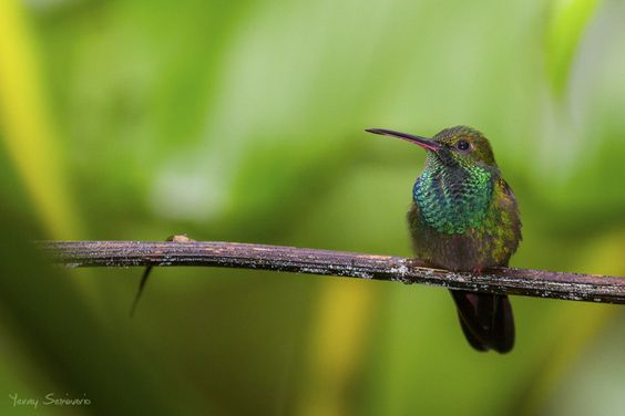 I've spent the weekend scouting El Valle for Whitehawk tours in December and January. I photographed this Bronze-tailed Plumeleteer thanks to the assistance of Tino from the Canopy Lodge. This is a really beautiful area that should be visited by anyone coming to Panama!  He pasado el fin de semana explorando El Valle para los tours de Whitehawk en diciembre y enero. Pude fotografiar este Chalybura urochrysia gracias a la ayuda de Tino, del Canopy Lodge. Esta es un área especialmente ...