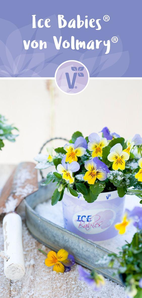 Wunderschone Winterveilchen Winterharte Blumen Fur Den Garten Und Balkon Winterharte Blumen Winterhart Herbstpflanzen