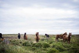Caballos, Islandia, Islandés, Animales