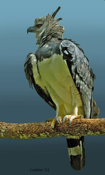 The Harpy Eagle, is a Neotropical species of eagle. It is sometimes known as the…