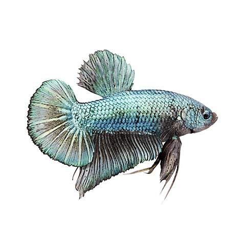 Male Halfmoon Plakat Betta Fish Petco Betta Betta Fish Siamese Fighting Fish