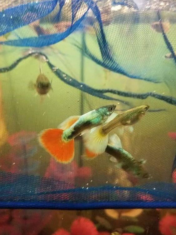 1 Breeding Pair Santa Clause Guppies Thailand Usa Hybrids Guppy Fish Guppy Fish