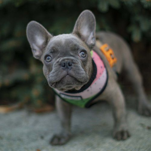 Nw Frenchies Lilac French Bulldog Puppy For Sale Washington
