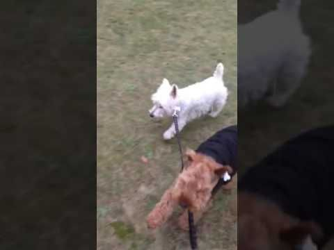 Very Funny video of a dog walking a dog West Highland Terrier and Welsh ...