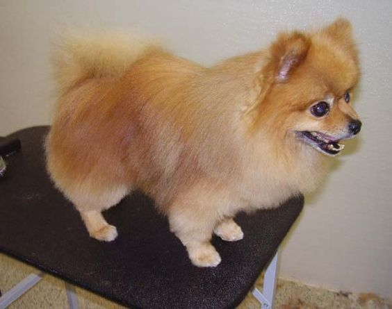 pomeranian haircut styles cream pomeranian haircut 9031