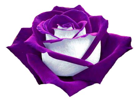 PURPLE AND WHITE ROSE | CLIP ART - SPRING - CLIPART ...