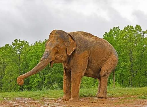Sweet Shirley The 2nd Oldest Known Elephant Now At The Sanctuary In Tennessee Elephant Elephant Sanctuary Louisiana Purchase