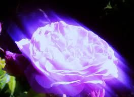purple rose - 7 -12 -12