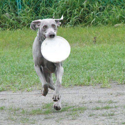 本能が刺激される 走るのが好きな犬種3選 いぬのきもちweb Magazine いぬ 犬 狩猟犬