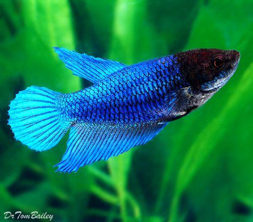 Premium Blue Female Betta Fish 1 To 1 2 Long Betta Fish Types Betta Betta Fish