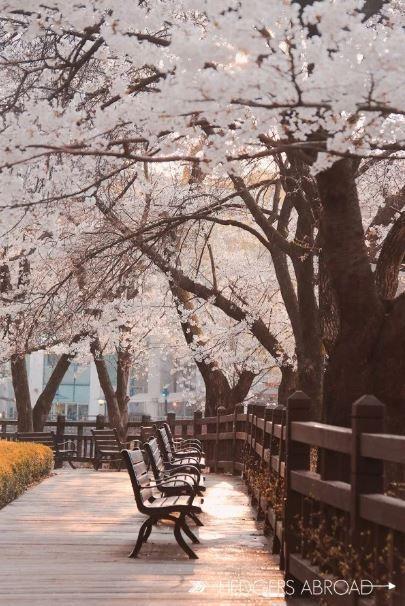 Cherry Blossom Season Seoul South Korea Southkoreatravelinfo South Korea Photography South Korea Travel Korea Wallpaper Cherry blossom wallpaper in korea