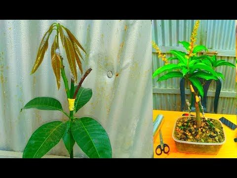 How To Double Grafting On Mango Tree Youtube Mango Tree Mango Plant Grafting