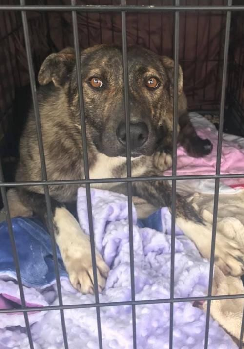 This Cutie Needs A Home Dutch Shepherd Mixed In Princeton Mn Pet Adoption Pets Dog Adoption