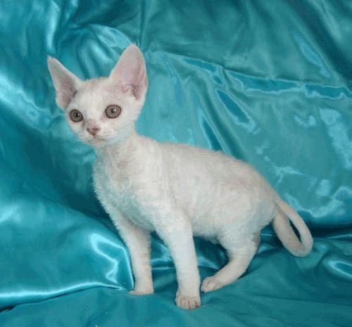 naaaaaw!!!! I love Devon Rex kitties!