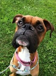 Chloe is an adoptable Boxer Dog in Indiana, PA.  ...
