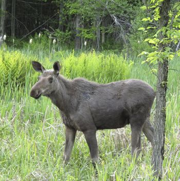 young bull moose - Google Search