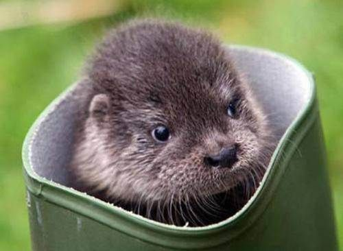 otter in a boot