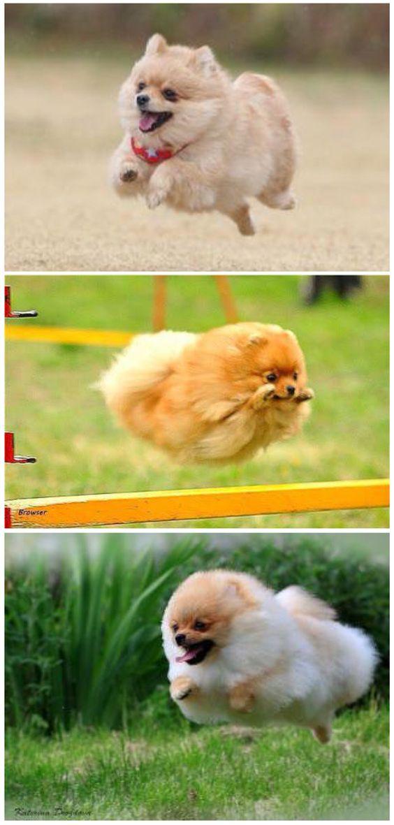 It's a bird! It's a plane! It's Pomeranian!